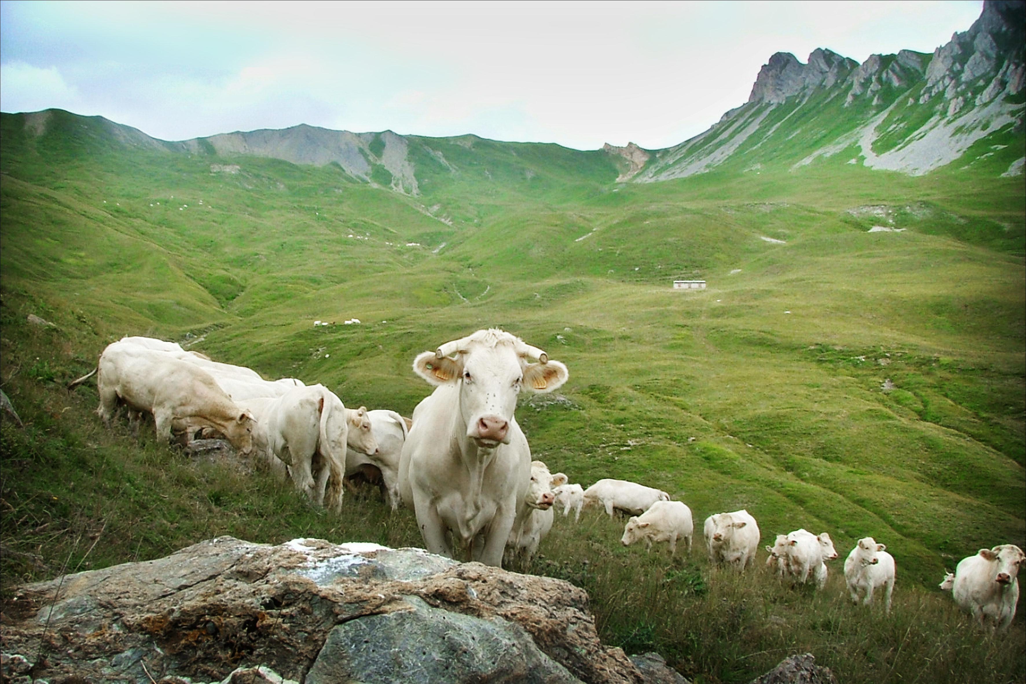 en alpage-Saveurs de nos fermes-Magasin de producteurs Saveurs de nos fermes -Albertville-Gilly Sur Isère-savoie- vente directe- agriculteur-produits locaux-
