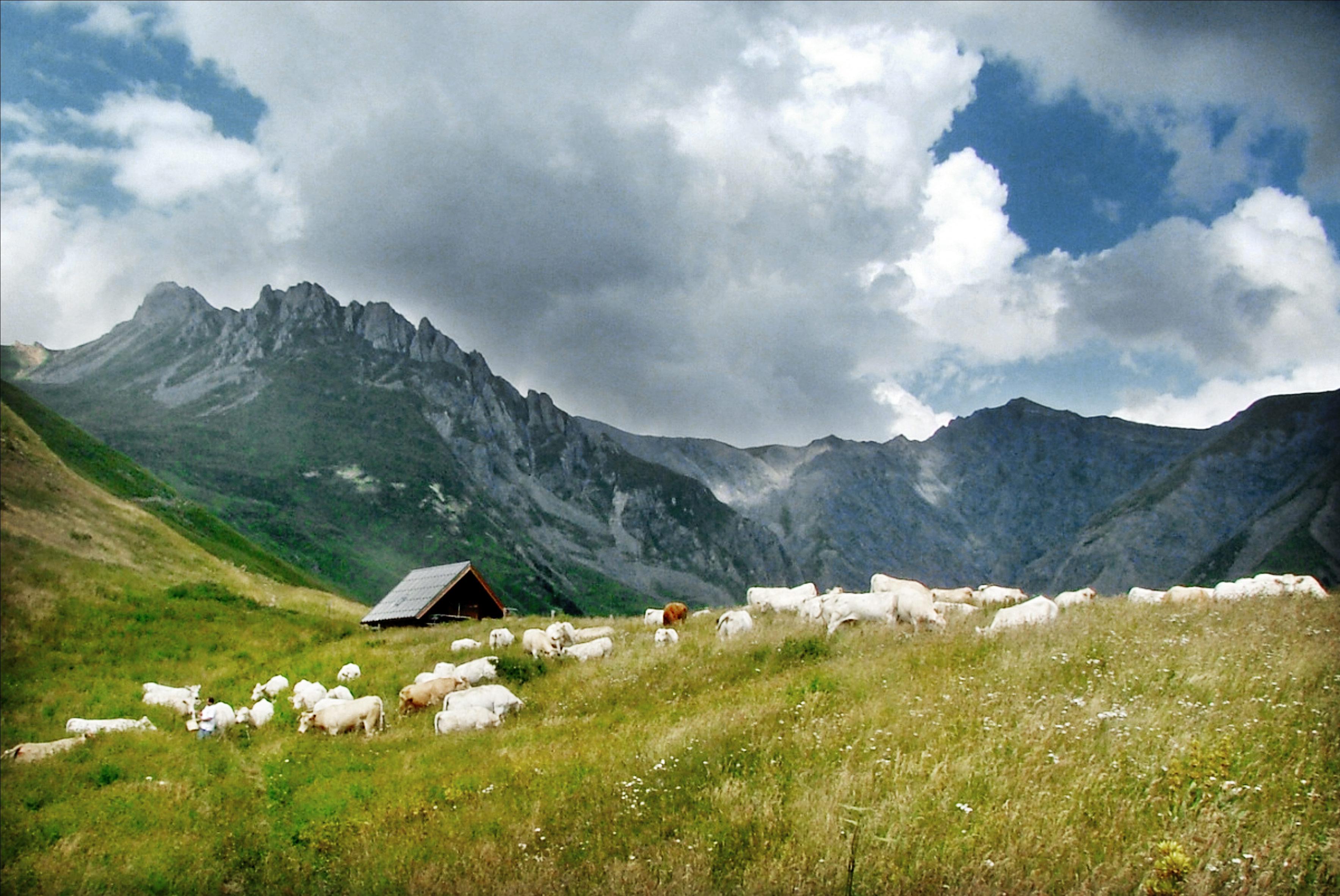 vaches en alpage-Saveurs de nos fermes-Magasin de producteurs Saveurs de nos fermes -Albertville-Gilly Sur Isère-savoie- vente directe- agriculteur-produits locaux-