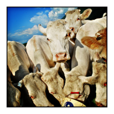 vaches-Saveurs de nos fermes-Magasin de producteurs Saveurs de nos fermes -Albertville-Gilly Sur Isère-savoie- vente directe- agriculteur-produits locaux-
