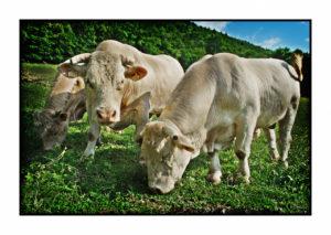 Les vaches de notre magasin de producteurs à Gilly sur Isère / Albertville