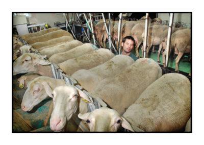 traite brebis-Saveurs de nos fermes-Magasin de producteurs Saveurs de nos fermes -Albertville-Gilly Sur Isère-savoie- vente directe- agriculteur-produits locaux-