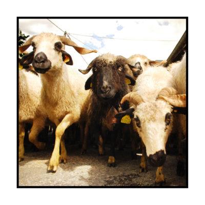 thônes et marthôt-Saveurs de nos fermes-Magasin de producteurs Saveurs de nos fermes -Albertville-Gilly Sur Isère-savoie- vente directe- agriculteur-produits locaux-