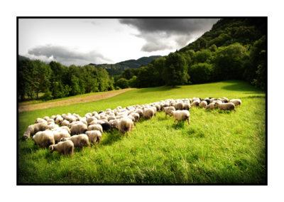 brebis-Saveurs de nos fermes-Magasin de producteurs Saveurs de nos fermes -Albertville-Gilly Sur Isère-savoie- vente directe- agriculteur-produits locaux-