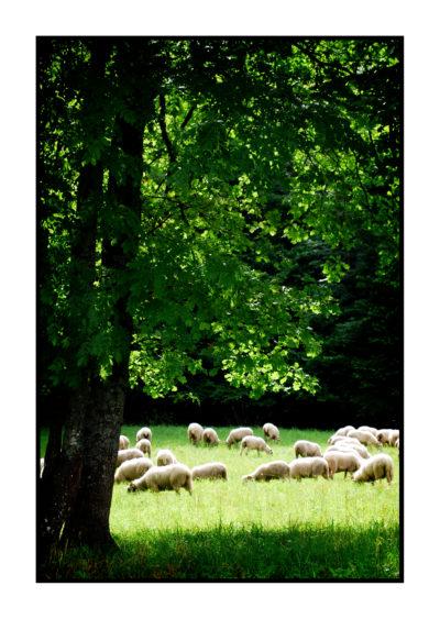 moutons-Saveurs de nos fermes-Magasin de producteurs Saveurs de nos fermes -Albertville-Gilly Sur Isère-savoie- vente directe- agriculteur-produits locaux-