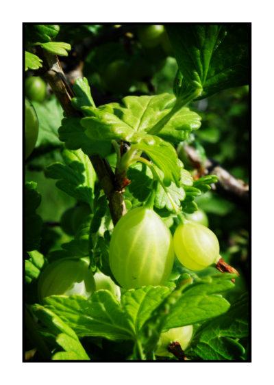 groseilles à maquereau-Saveurs de nos fermes-Magasin de producteurs Saveurs de nos fermes -Albertville-Gilly Sur Isère-savoie- vente directe- agriculteur-produits locaux-