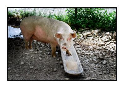 porc fermier- plein air-fermier-magasin de producteur-gilly sur isère-albertville- terroir-vente directe-savoie