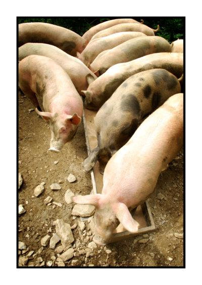 porc plein air-fermier-magasin de producteur-gilly sur isère-albertville- terroir-vente directe-savoie