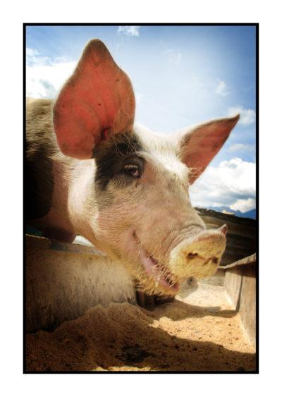 porc fermier-fermier-magasin de producteur-gilly sur isère-albertville- terroir-vente directe-savoie