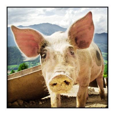porc à la ferme-fermier-magasin de producteur-gilly sur isère-albertville- terroir-vente directe-savoie