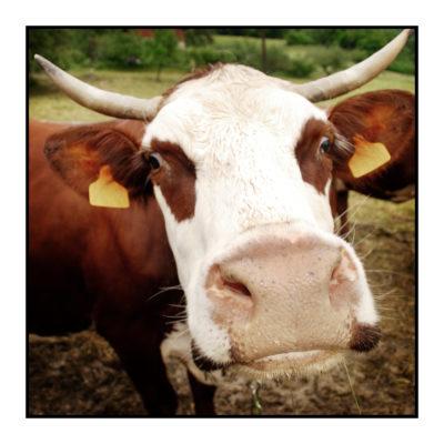 vache-magasin de producteur-gilly sur isère-albertville- terroir-vente directe