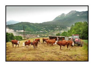 traite des vaches-savoie- magasin de producteur-gilly sur isère-albertville- terroir-vente directe-tomme de savoie