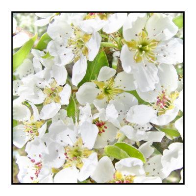 fleurs- pommiers-Pommes bio- locales- arboriculteur- ferme-magasin de producteurs - Gilly sur Isère / Albertville- savoie - terroir