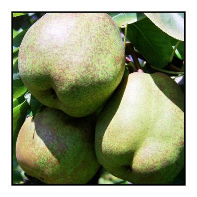 poire comice-Pommes bio- locales- arboriculteur- ferme-magasin de producteurs - Gilly sur Isère / Albertville- savoie - terroir