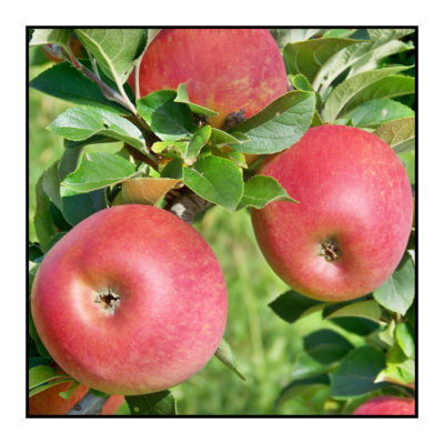 jonagored-Pommes bio- locales- arboriculteur- ferme-magasin de producteurs - Gilly sur Isère / Albertville- savoie - terroir