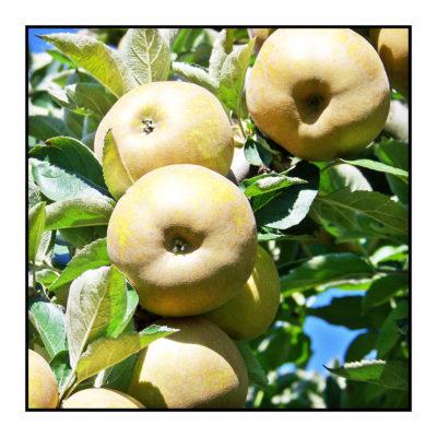 canada grise- arboriculteur- bio- Pommes bio- locales- arboriculteur- ferme-magasin de producteurs - Gilly sur Isère / Albertville- savoie - terroir