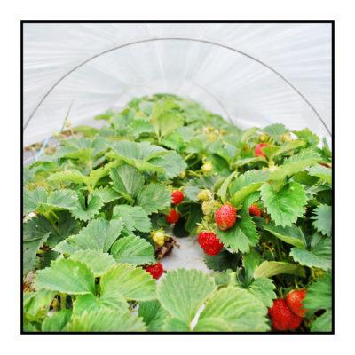 fraises- Pommes bio- locales- arboriculteur- ferme-magasin de producteurs - Gilly sur Isère / Albertville- savoie - terroir