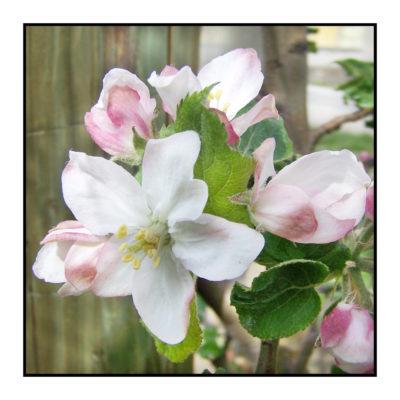 fleur- pomme_ printemps-Pommes bio- locales- arboriculteur- ferme-magasin de producteurs - Gilly sur Isère / Albertville- savoie - terroir