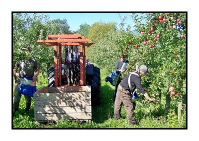 cueilletten pommes -Pommes bio- locales- arboriculteur- ferme-magasin de producteurs - Gilly sur Isère / Albertville- savoie - terroir