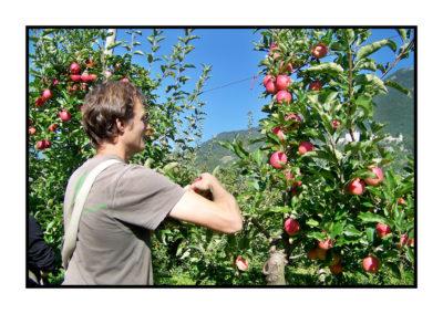 cueillette des pommes-Pommes bio- locales- arboriculteur- ferme-magasin de producteurs - Gilly sur Isère / Albertville- savoie - terroir