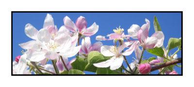 fleurs de pommiers-Pommes bio- locales- arboriculteur- ferme-magasin de producteurs - Gilly sur Isère / Albertville- savoie - terroir