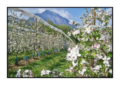 pommiers en fleur- Pommes bio- locales- arboriculteur- ferme-magasin de producteurs - Gilly sur Isère / Albertville- savoie - terroir