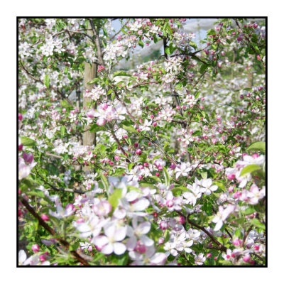 pommiers - printemps-Pommes bio- locales- arboriculteur- ferme-magasin de producteurs - Gilly sur Isère / Albertville- savoie - terroir