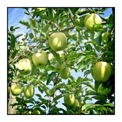 Pommes golden bio- locales- arboriculteur- ferme-magasin de producteurs - Gilly sur Isère / Albertville- savoie - terroir