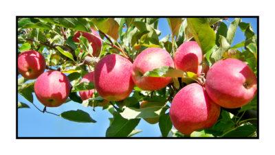 Pommes bio- locales- arboriculteur- ferme-magasin de producteurs - Gilly sur Isère / Albertville- savoie - terroir