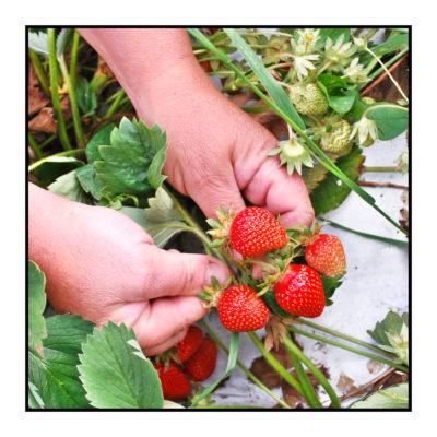 fraises-Pommes bio- locales- arboriculteur- ferme-magasin de producteurs - Gilly sur Isère / Albertville- savoie - terroir