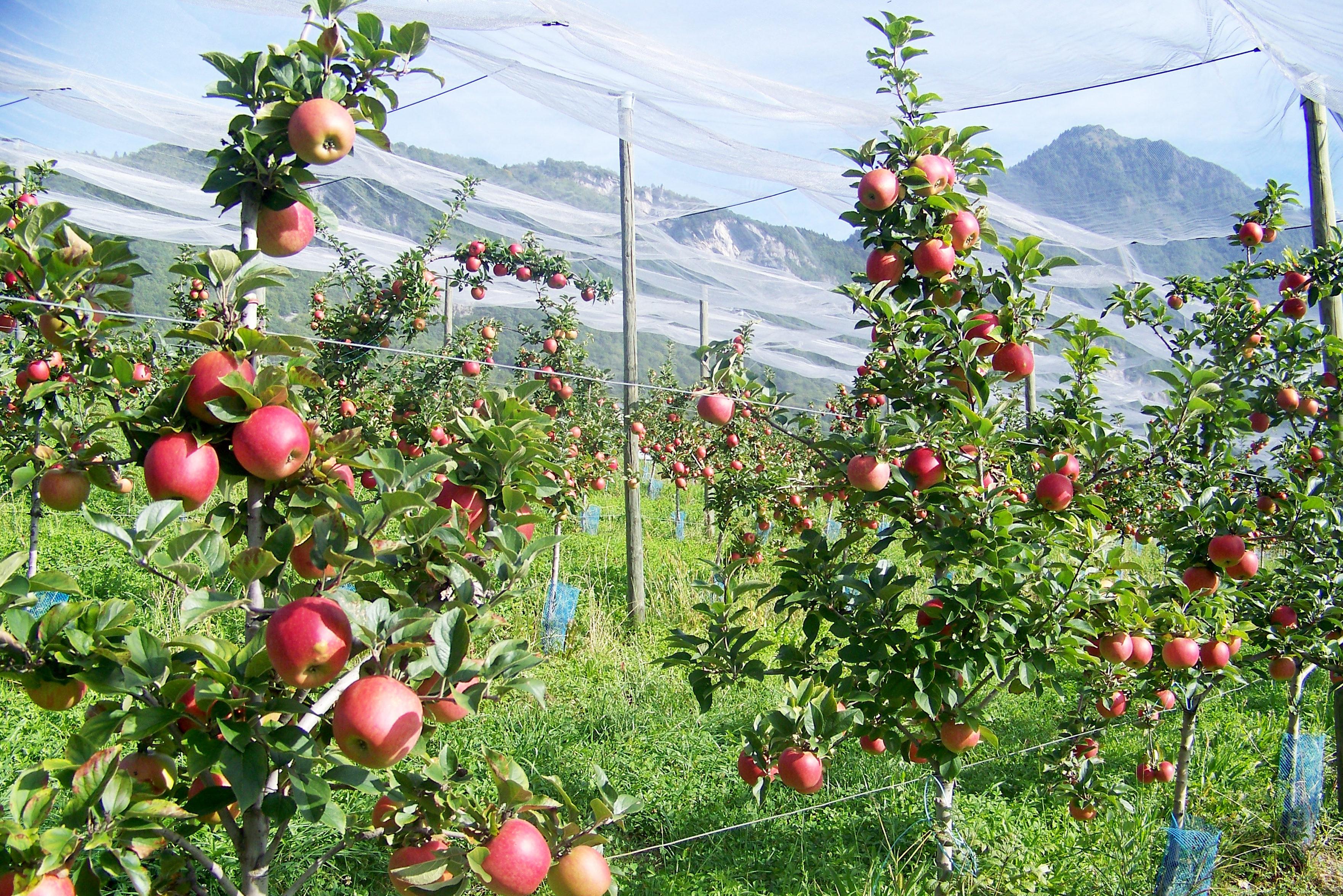 Primeurs Albertville - Fruits et légumes de saison Gilly-Sur-Isère- ferme-magasin de producteurs - Gilly sur Isère / Albertville- savoie - terroir