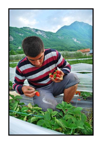 Pommes bio- locales- arboriculteur- ferme-magasin de producteurs - Gilly sur Isère / Albertville- savoie - terroir- fraises