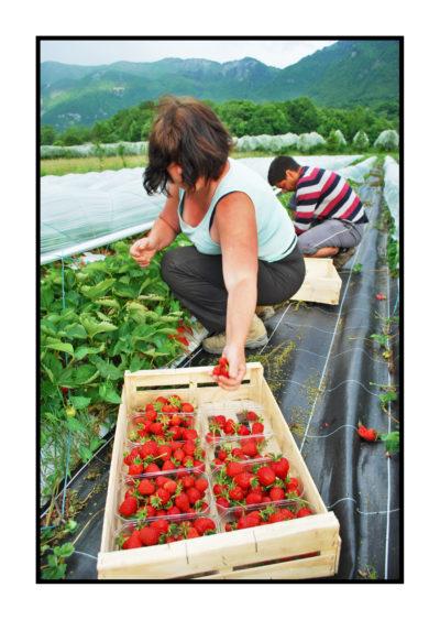 cueillette fraises-bio- Pommes bio- locales- arboriculteur- ferme-magasin de producteurs - Gilly sur Isère / Albertville- savoie - terroir
