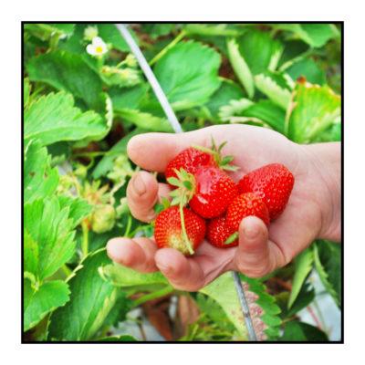 cueillette des fraises plein champs-Pommes bio- locales- arboriculteur- ferme-magasin de producteurs - Gilly sur Isère / Albertville- savoie - terroir