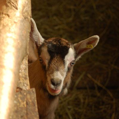 bébé chèvre-magasin de producteurs - Gilly sur Isère / Albertville