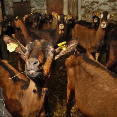 chèvres - ferme-magasin de producteurs - Gilly sur Isère / Albertville- savoie - terroir